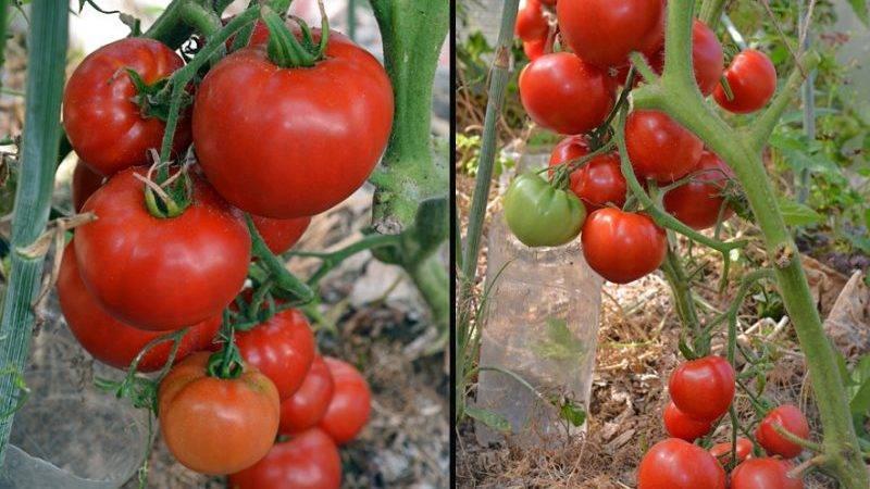 Сорт помидоров «кострома»- описание, преимущества