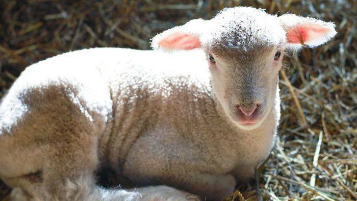 Самка барана: содержание, кормление, размножение