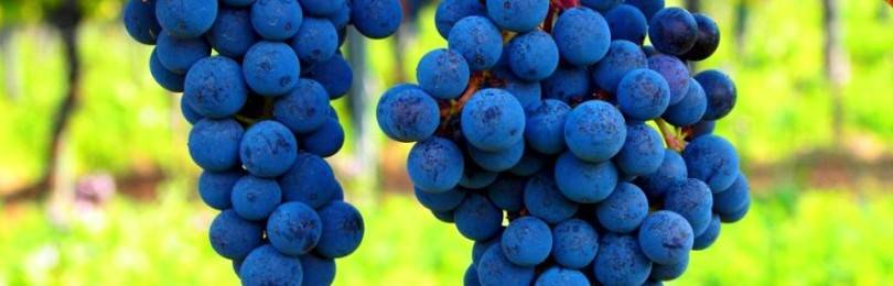 Описание сорта винограда один