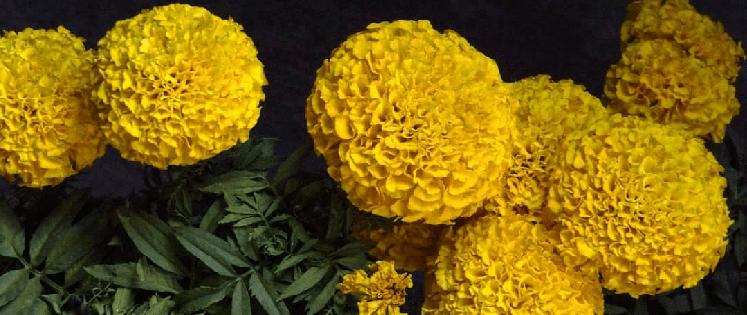 Можно ли выращивать бархатцы в квартире круглый год