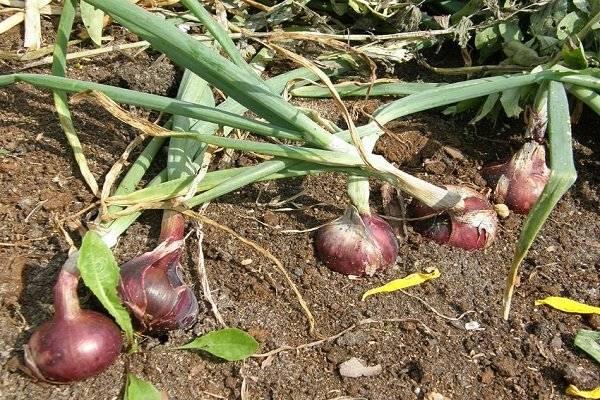 Как выращивать и хранить крымский и ялтинский лук в средней полосе?