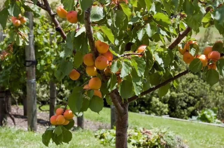 Как вырастить персик из косточки в домашних условиях: пошаговая инструкция с фото