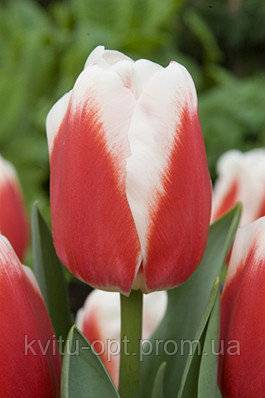 Простые поздние тюльпаны. описание сортов с фото.