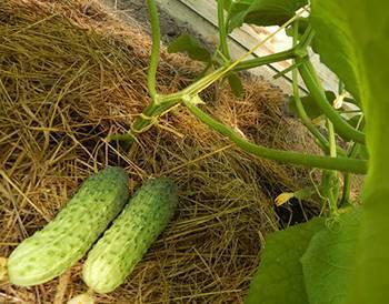 Описание сорта огурца Муравей, его характеристики и урожайность