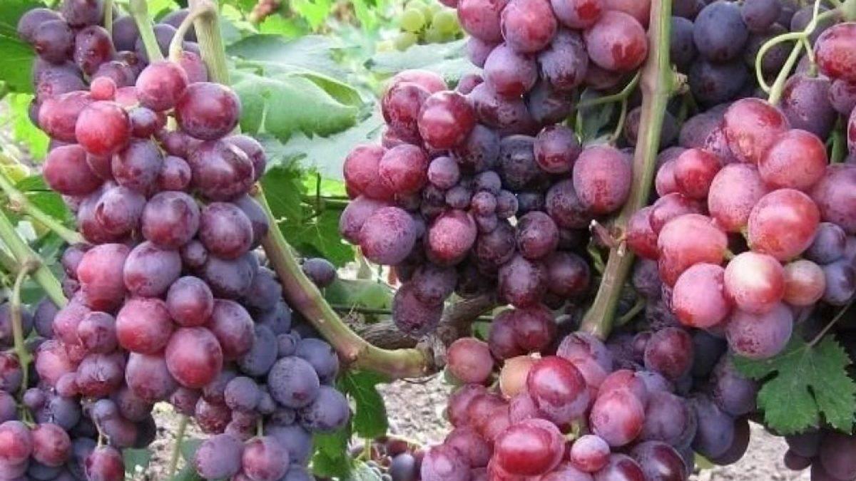 Описание гибридного сорта винограда «румба» и его фото