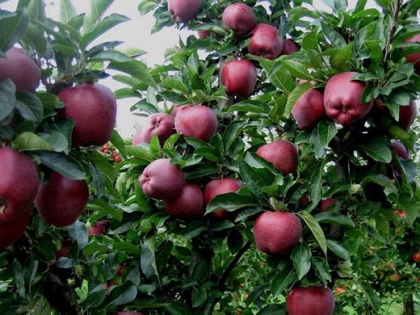 Сорт яблони ред чиф: особенности посадки и выращивания