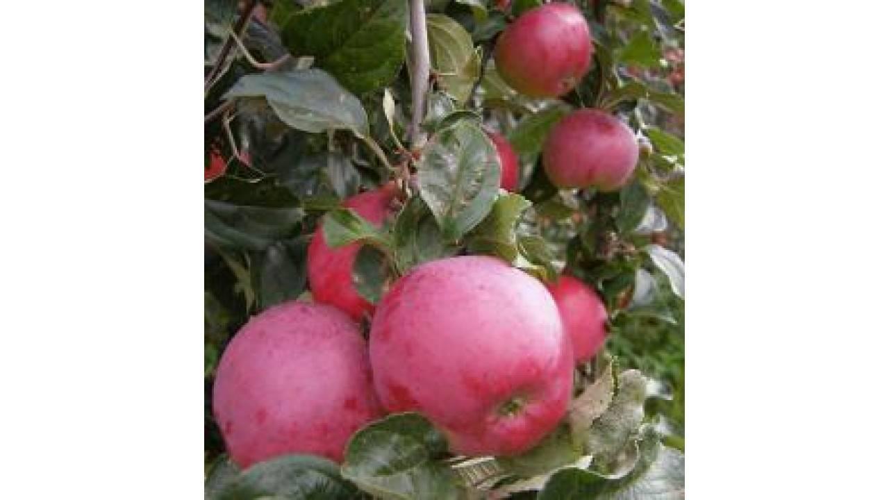 Яблоня «звездочка»: характеристика, выращивание и уход