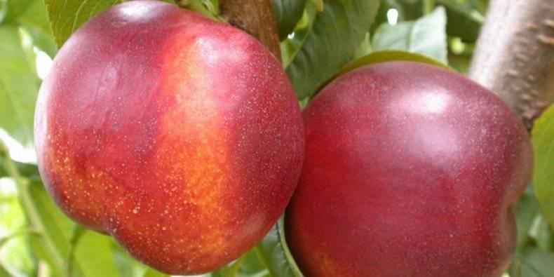 Колоновидные персики и нектарины: выбор сорта и рекомендации по выращиванию