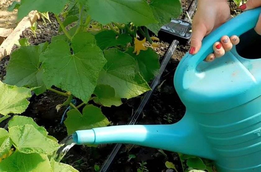 Как производится подкормка огуречных растений раствором мочевины