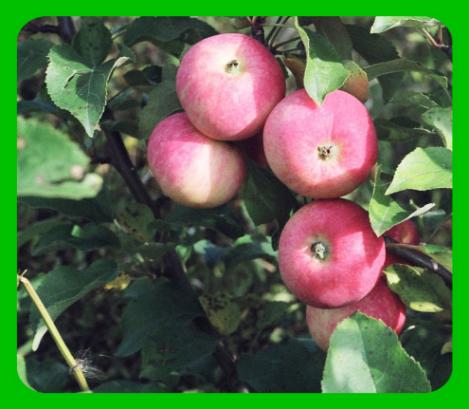 Выбираем самые сладкие сорта яблонь