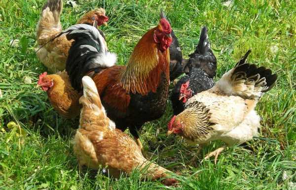 Как размножаются курицы и зачем нужен петух?