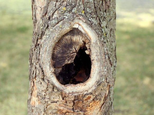 Дупло на яблоне, что делать. дупло в яблоне: правильно лечим рану и пломбируем опасное отверстие