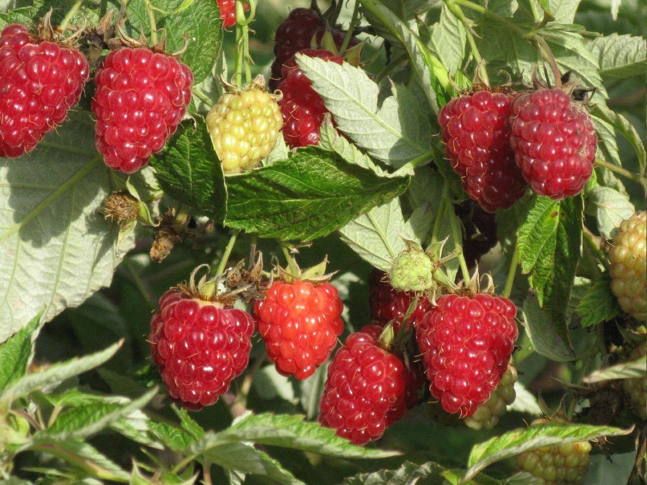 Описание и урожайность малины сорта Таганка, посадка и уход