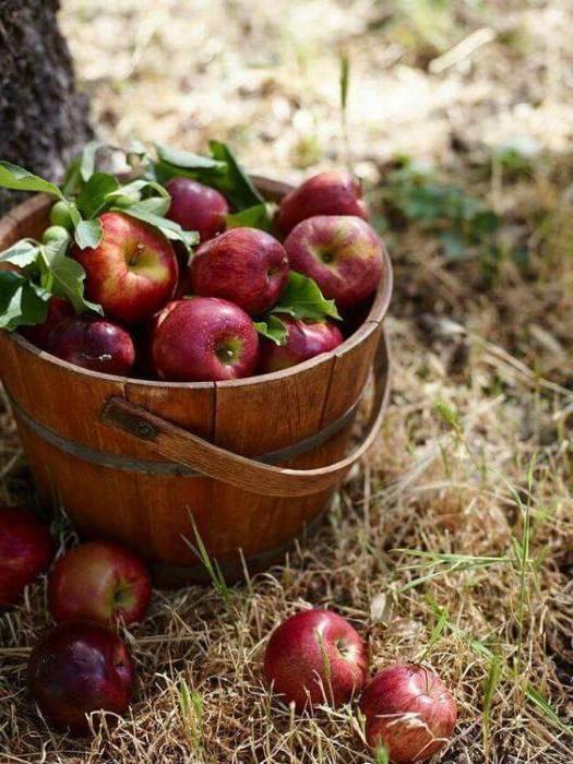 Стелющаяся яблони: посадка, уход, обрезка