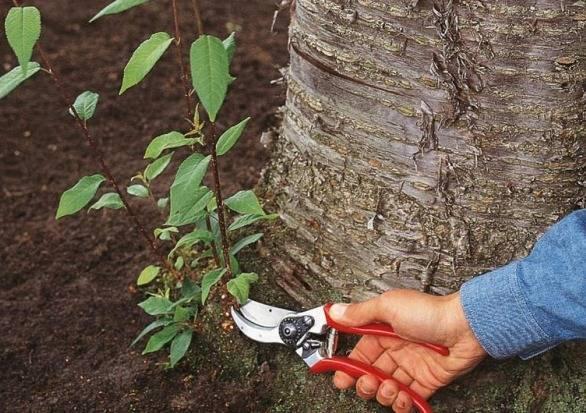 Как уничтожить корни деревьев и кустов