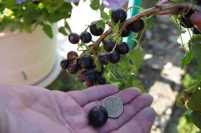Почему красная смородина не плодоносит. почему нет ягод на кустах смородины