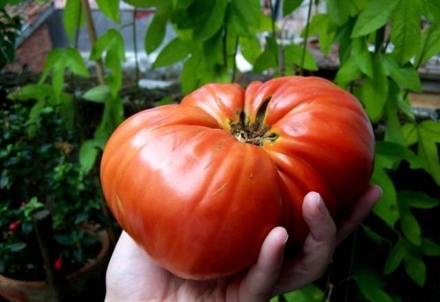 Сорт томата «исполин малиновый»: фото, отзывы, описание, характеристика, урожайность