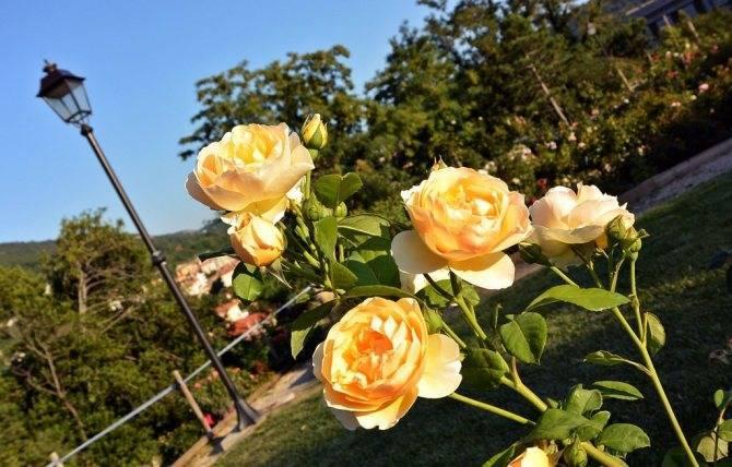 Особенности посадки и ухода за плетистыми розами на урале в открытом грунте