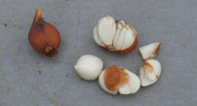 Как и где лучше хранить луковицы тюльпанов, правила и выбор места