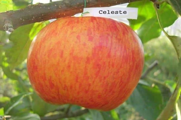 Описание сорта яблони Целеста и утойчивость к заболеваниям, зимостойкость