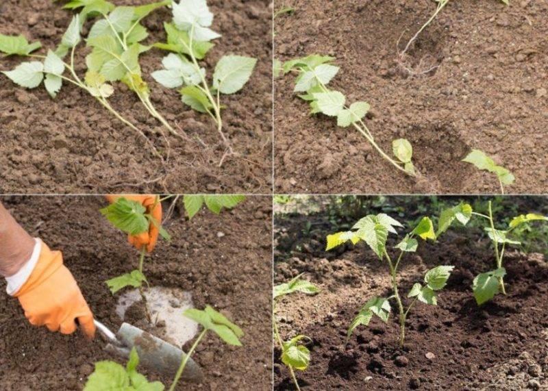 Способы размножения обычной и ремонтантной малины