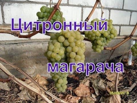 Виноград цитронный магарача