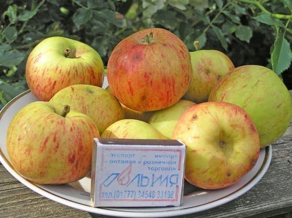 Сорт яблони коробка: особенности и описание
