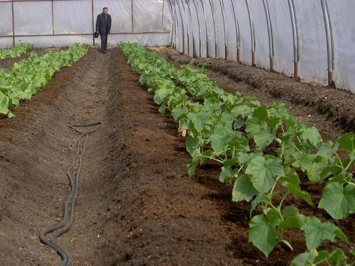 Выращивание огурцов в теплице для начинающих — как вырастить правильно