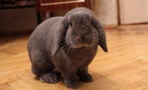 Вислоухий кролик баран - карликовые и мясные породы
