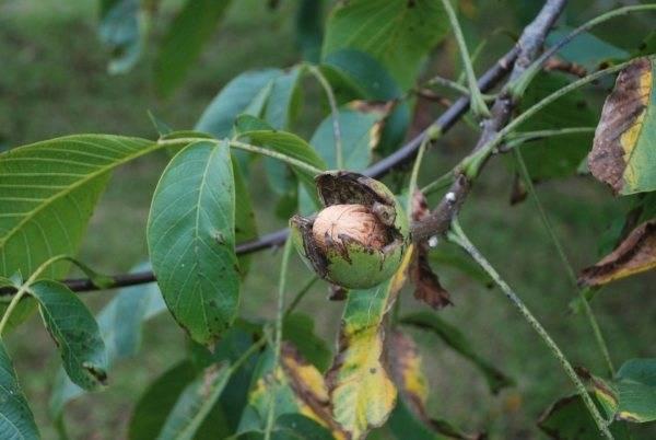 Болезни ореха грецкого фото
