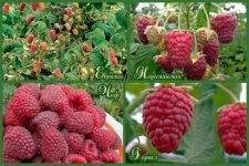 Лучшие сорта крупноплодной малины
