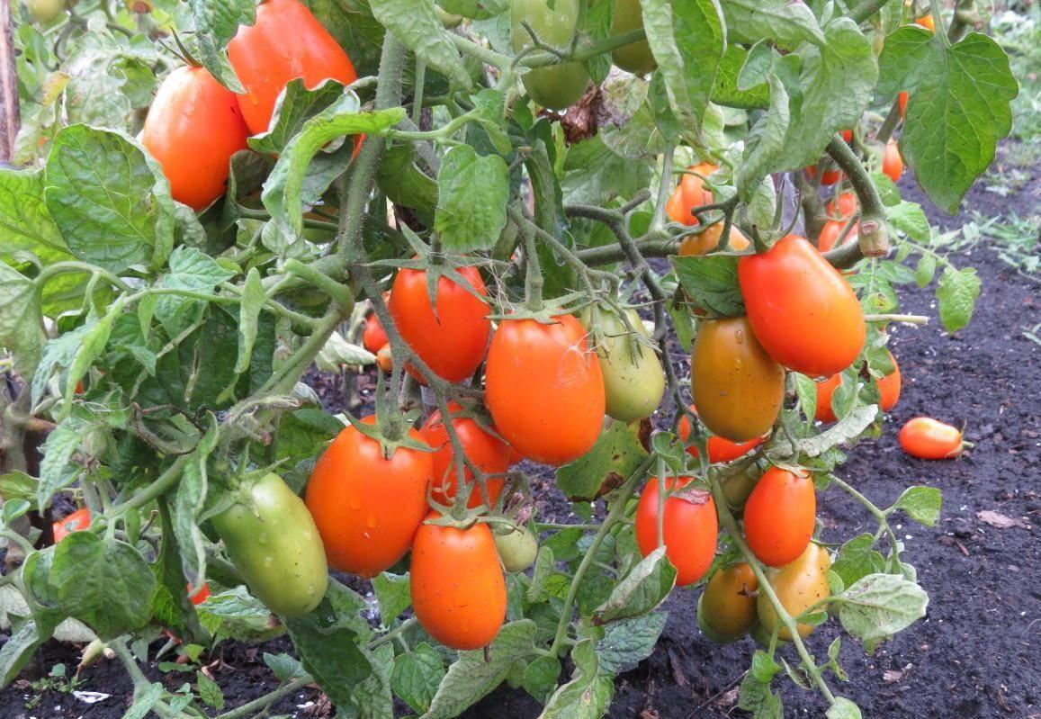 Томат симпатяга: характеристика и описание сорта, урожайность с фото