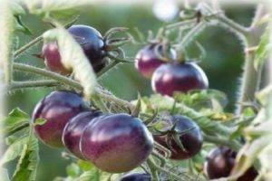 Томат дюймовочка: отзывы, фото, урожайность