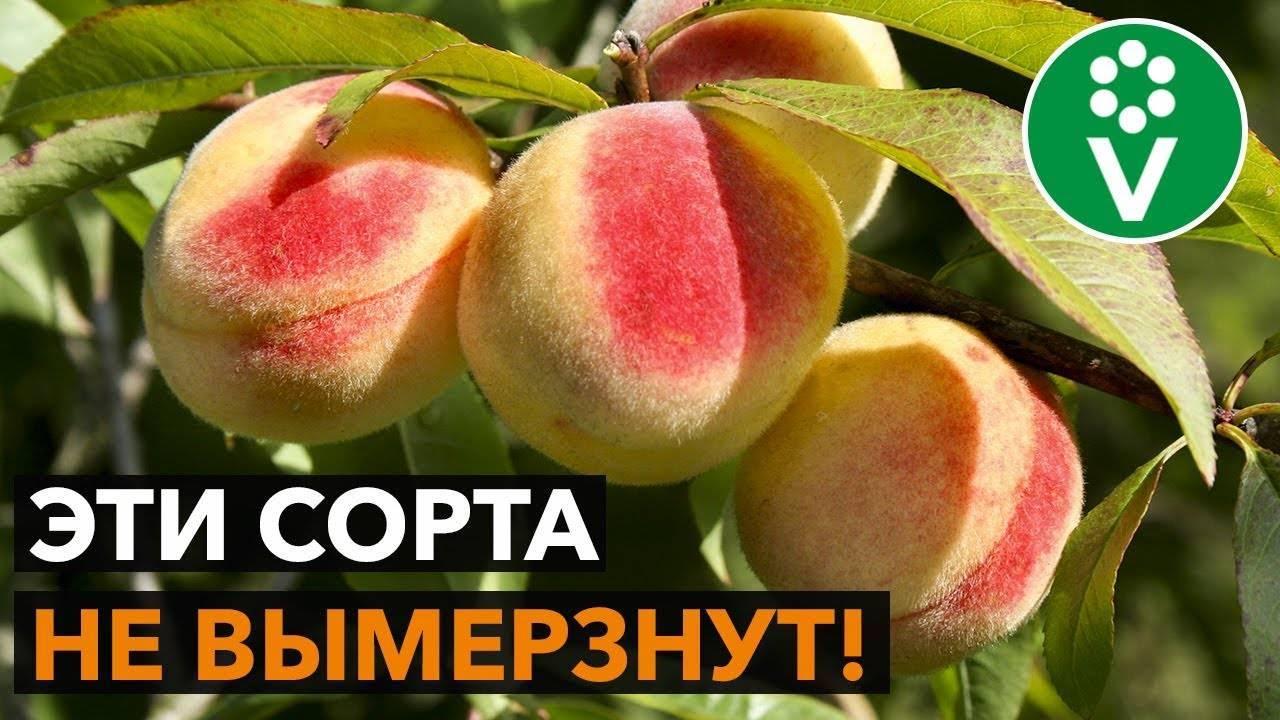 Лучшие сорта персиков с разным сроком созревания – для юга и не только