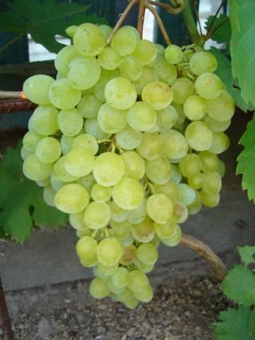 Виноград кишмиш: восточная сладость к русскому столу