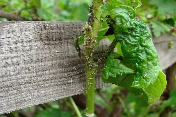 Скручиваются листья у смородины чем обработать. у смородины скручиваются листья: почему, что делать и чем обработать?