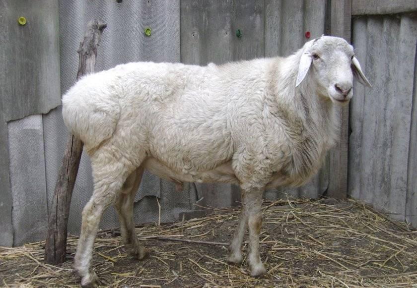 Описание калмыцкой породы овец