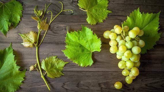 Размножение винограда самым эффективным способом – черенками