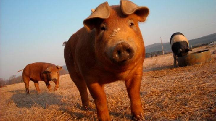 Особенности свиней породы дюрок