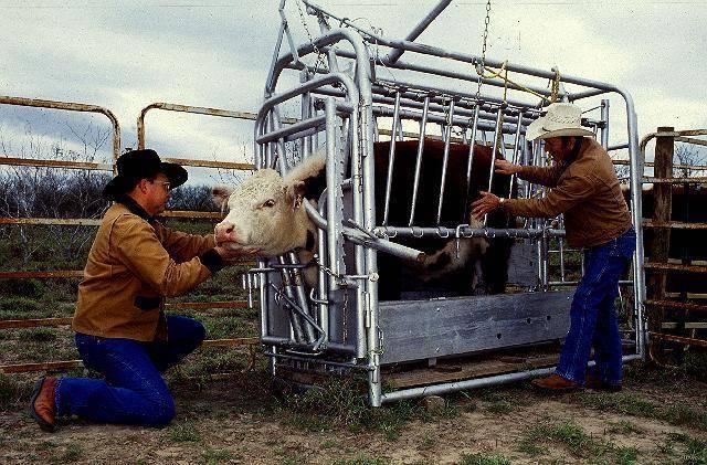 Методы искусственного осеменения свиней