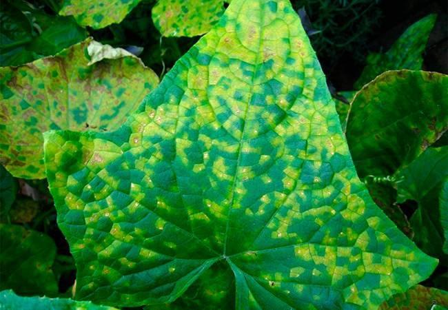 Эффективные способы лечения мраморной окраски листьев огурца