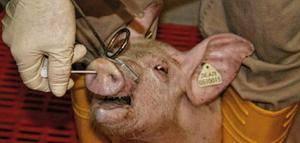 Лечение пастереллеза у свиней