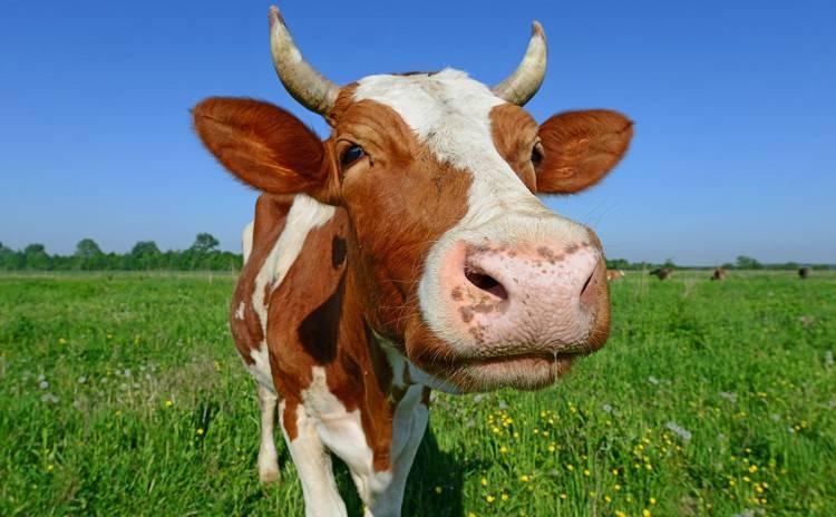 Виды и способы искусственного осеменения свиней в домашних условиях