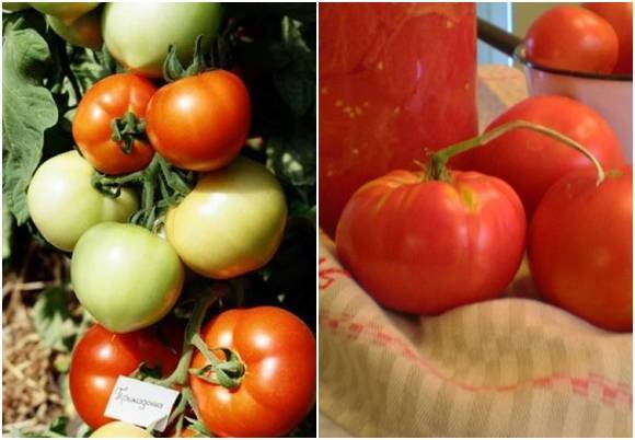 Примадонна - королева среди томатов