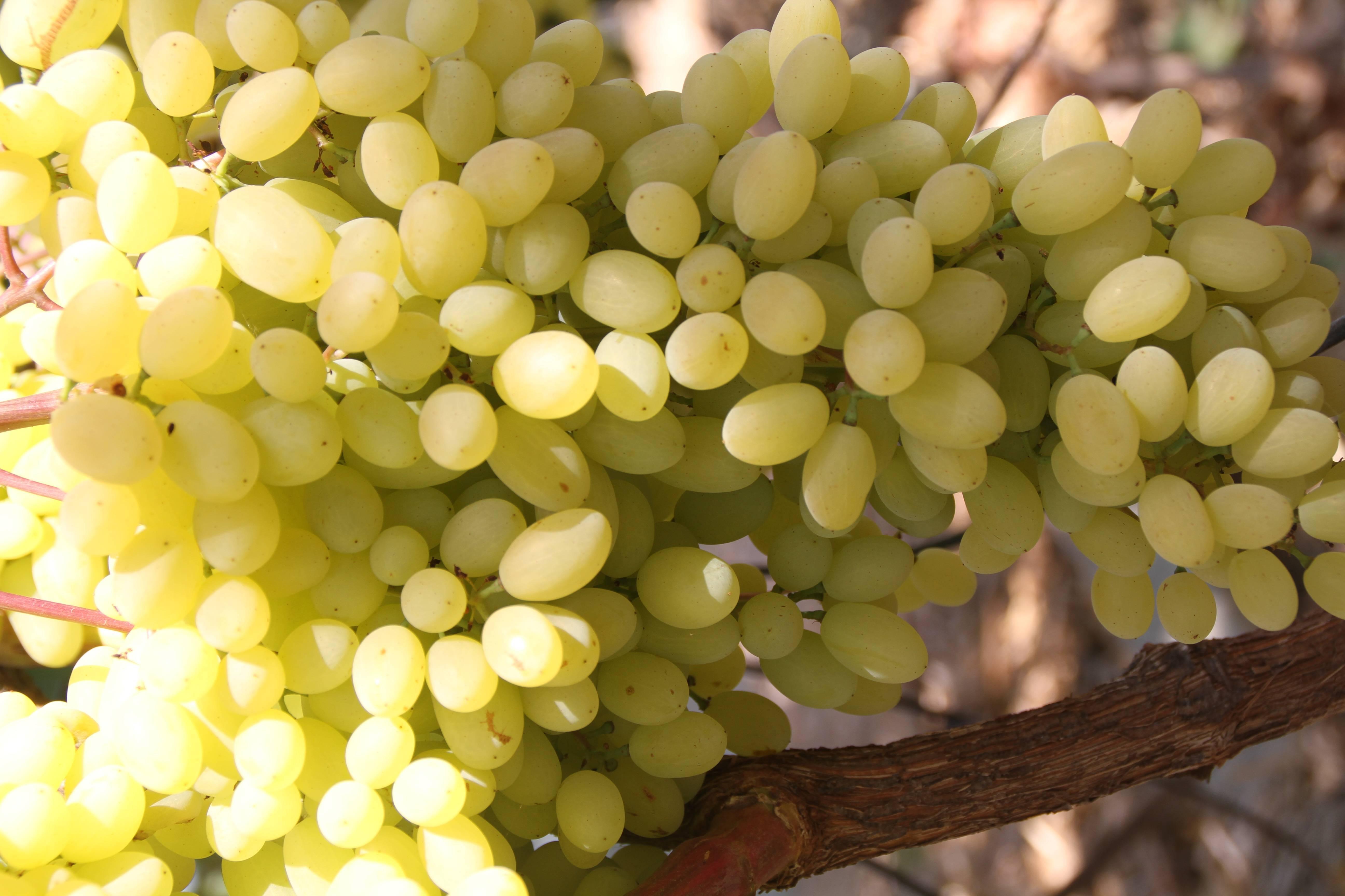 Описание и характеристики винограда сорта румба, особенности посадки и ухода и история