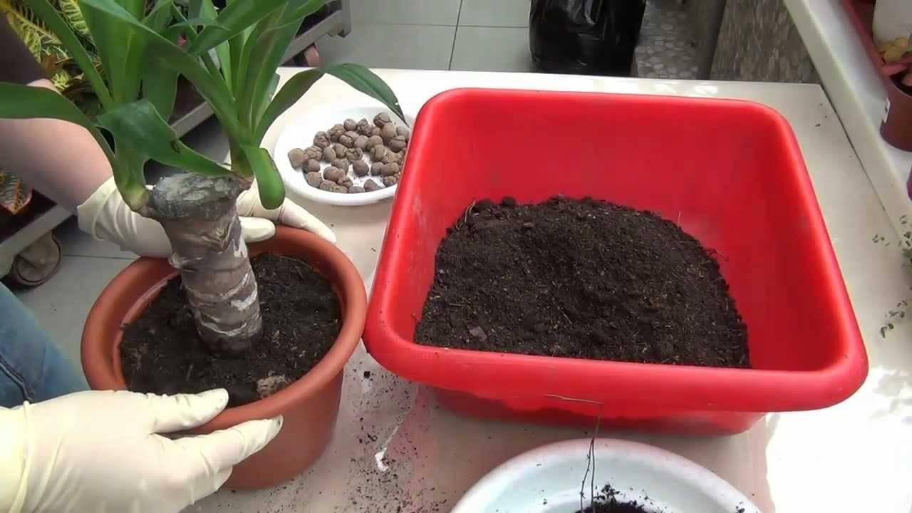 Как легко победить болезни юкки? почему желтеют, сохнут и опадают листья ложной пальмы?