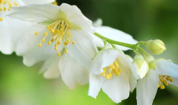 Жасмин цветок полезные свойства