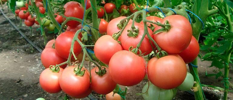 Описание сорта томата фэнси, особенности выращивания и ухода
