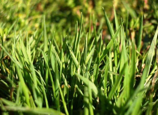 Борьба с сорняками на газоне или как правильно спасать свою лужайку