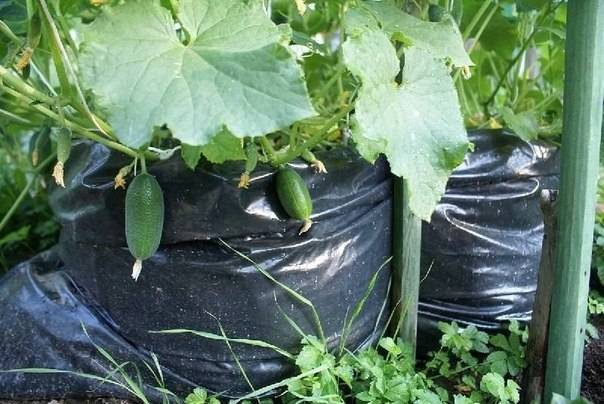 Грядки для огурцов — как сделать, нюансы выращивания и секреты обработки огурцов в открытом грунте (135 фото)